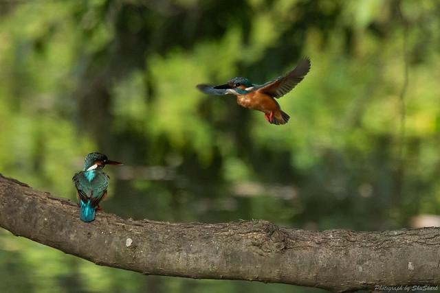 20180527-kingfisher-DSC_2693