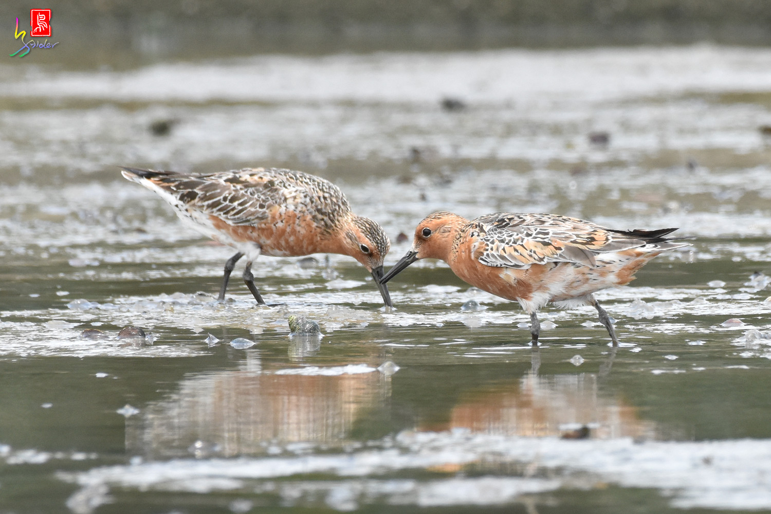 Red_Knot_1429