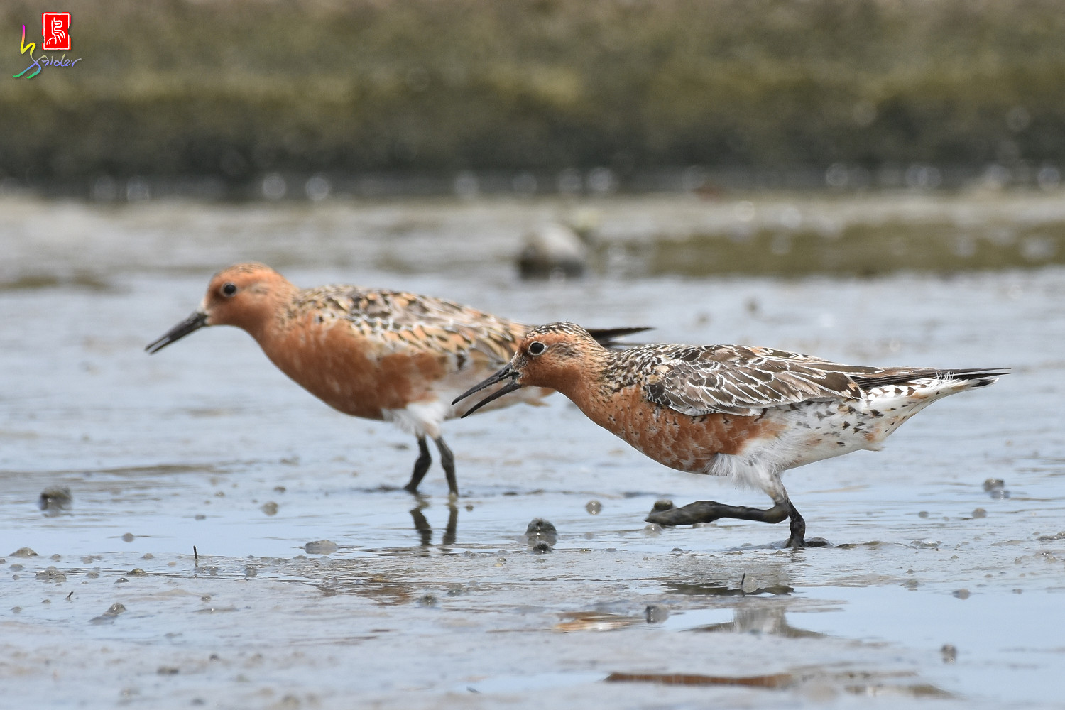 Red_Knot_0320