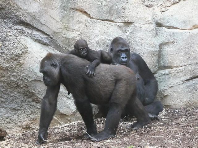 Gorilla, Zoo Frankfurt