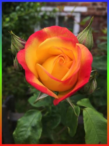 Rose IMG_0138_1