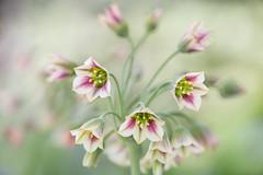 Nectaroscordum