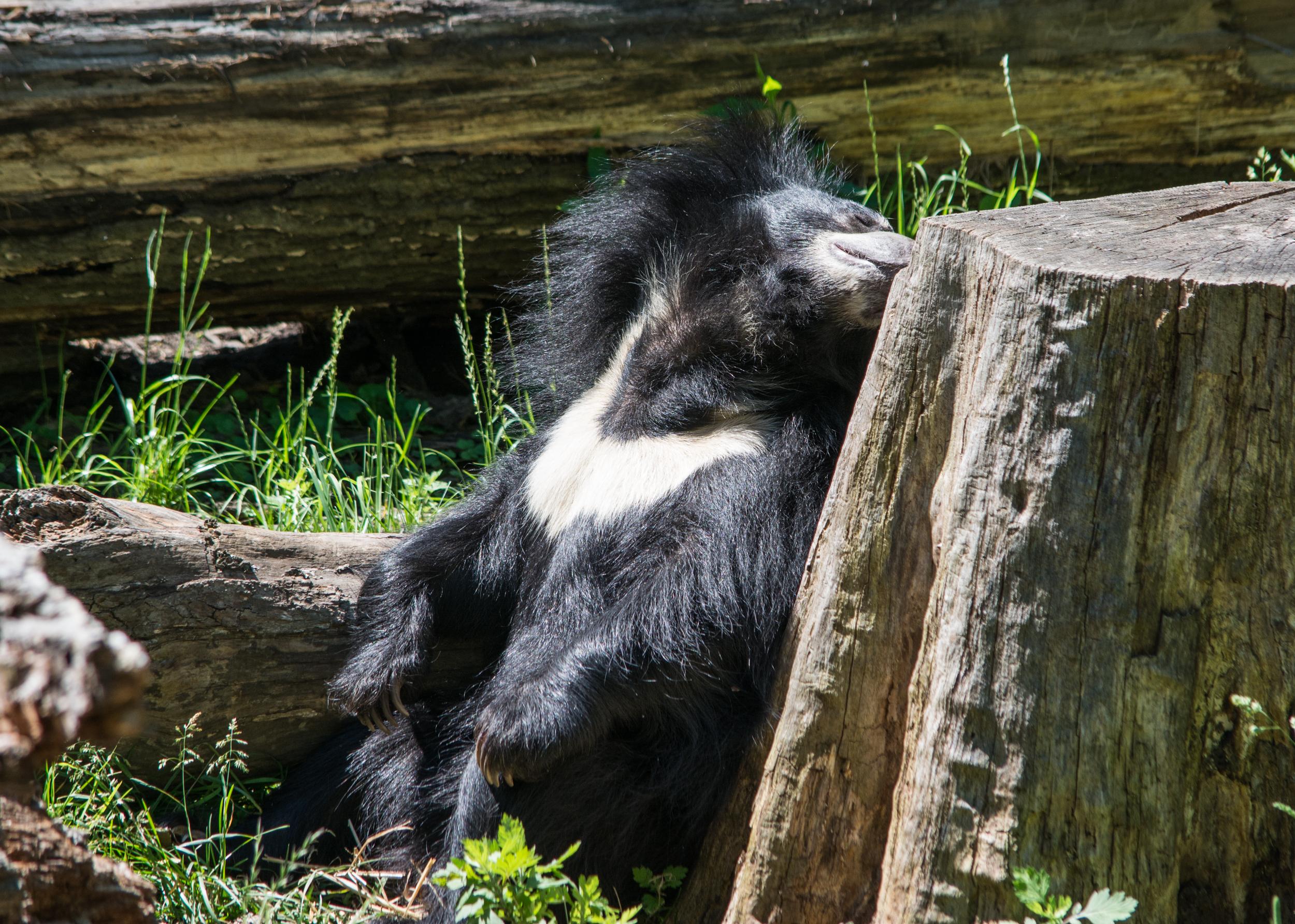 sloth bear sunning - Cleveland Zoo