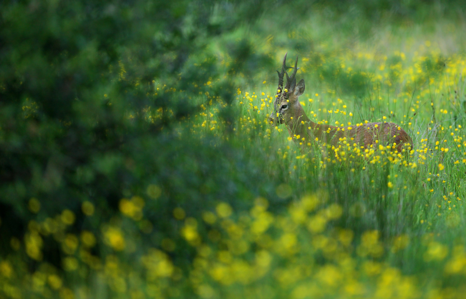 Roe buck in field of buttercups