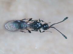 Diapriidae - Trichopria atricornis