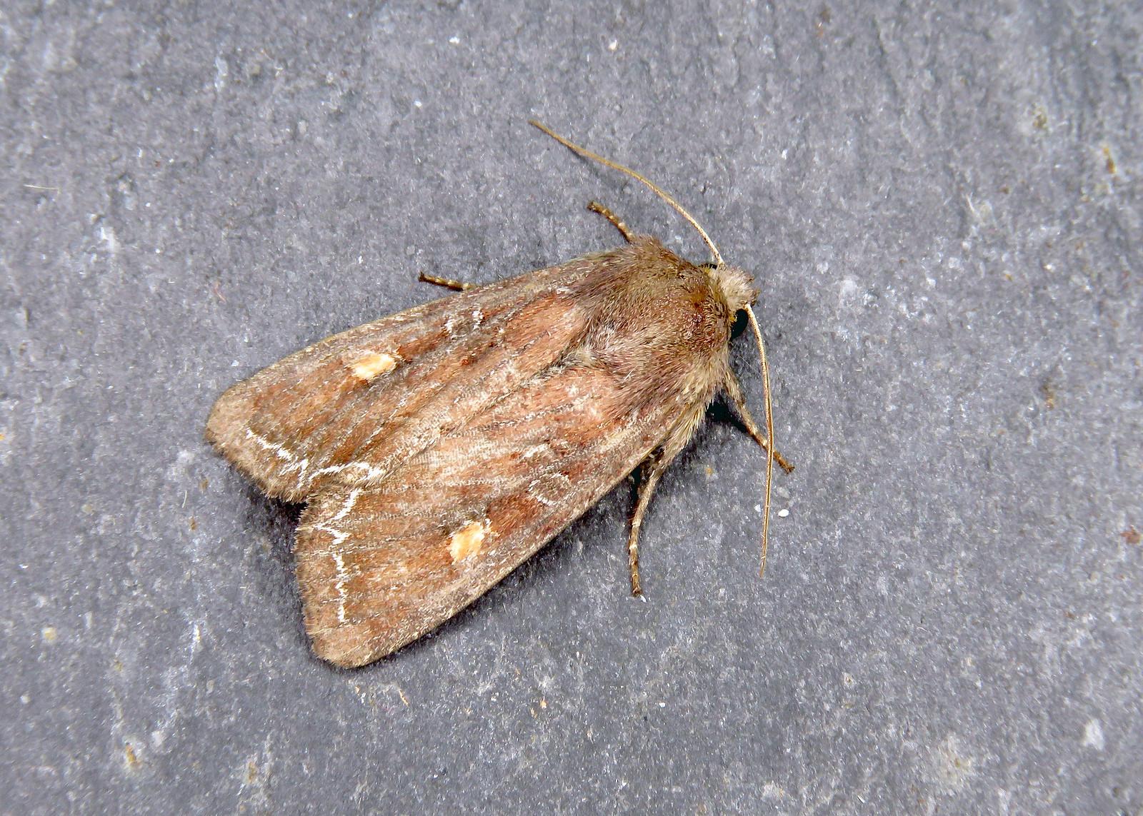 73.267 Bright-line Brown-eye - Lacanobia oleracea