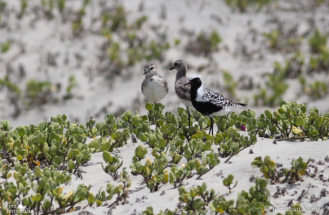 Black-bellied Plover (1) Foto Jonathan Vargas
