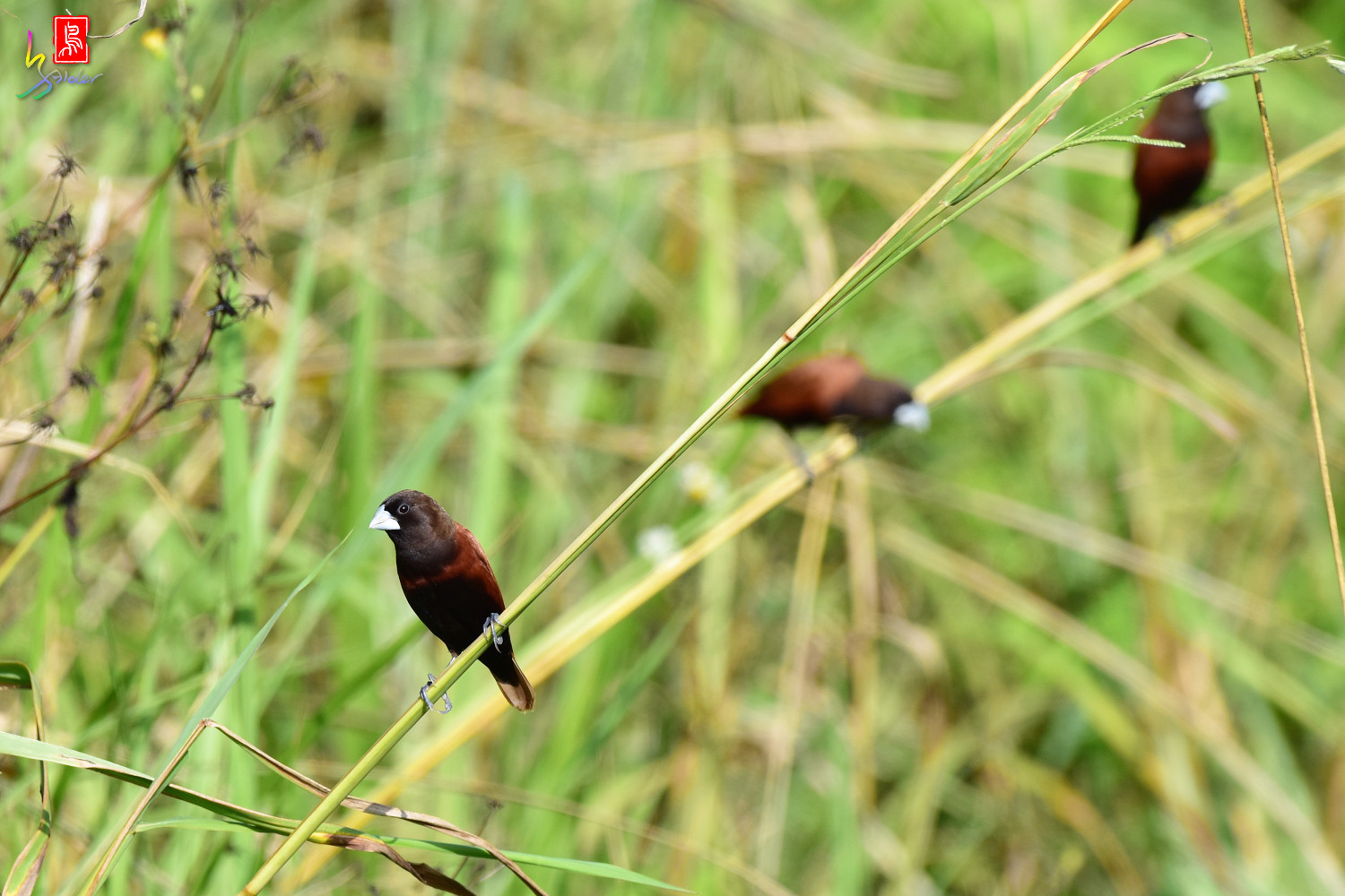 Chestnut_Munia_3794
