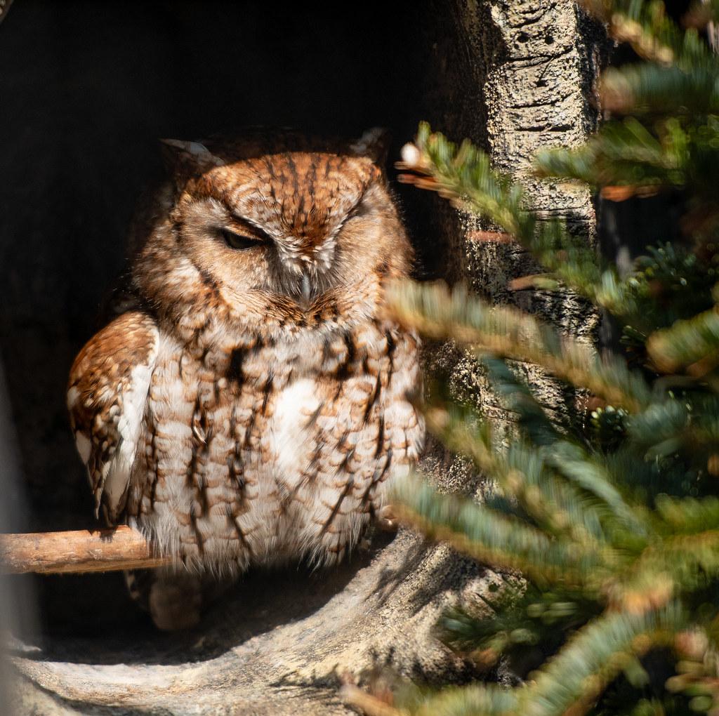 Screech Owl_1