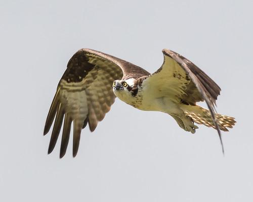 Flight of the Osprey (Explored, June 13, 2018)