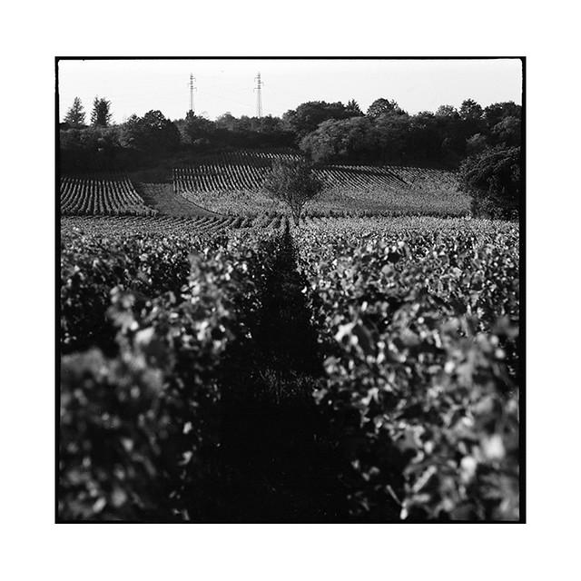 grapes 4 • chenove, burgundy • 2016