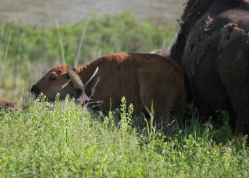BisonCalf2