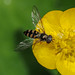Hoverfly - Platycheirus peltatus