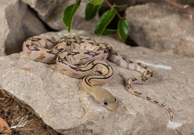 Trans-Pecos Rat Snake, Canon EOS 6D, Sigma 105mm f/2.8 EX DG OS HSM Macro