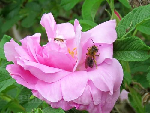 Roses 9