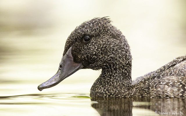 Freckled Duck, Canon EOS-1D X MARK II, Canon EF 600mm f/4.0L IS II USM