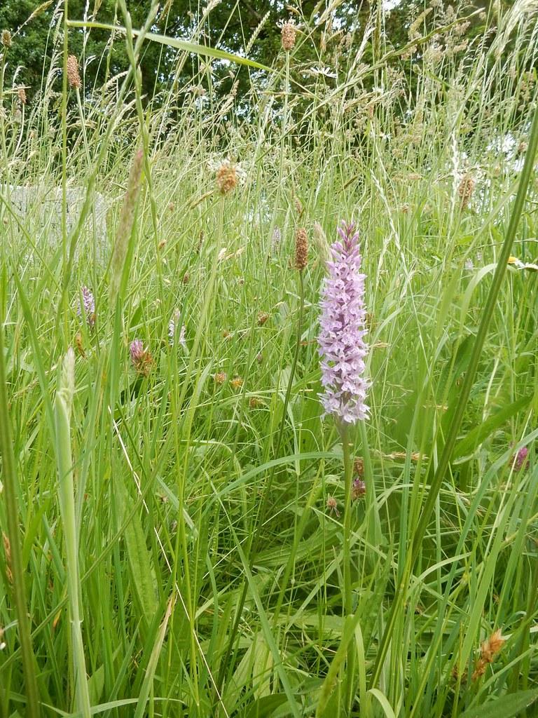 Orchid, Wiggonholt Churchyard Pulborough Brooks, Pulborough Circular