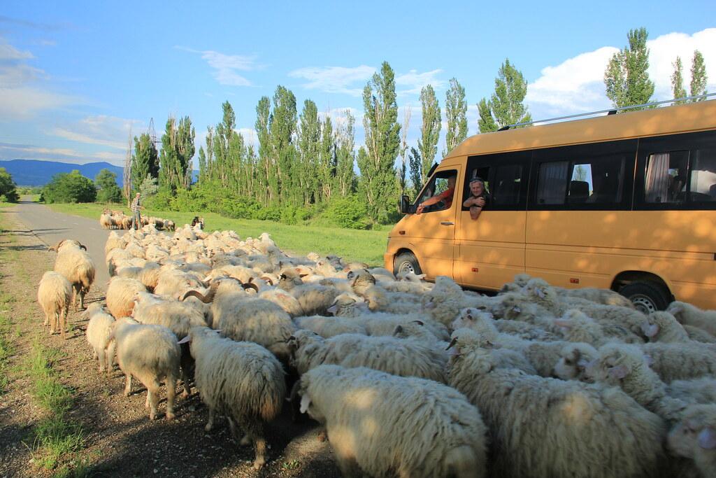 Rural traffic jam!