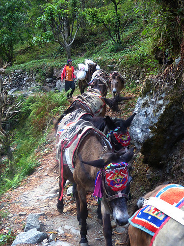 Donkeys are the may way goods are transported into the remote villages along the trekking trails in Nepal
