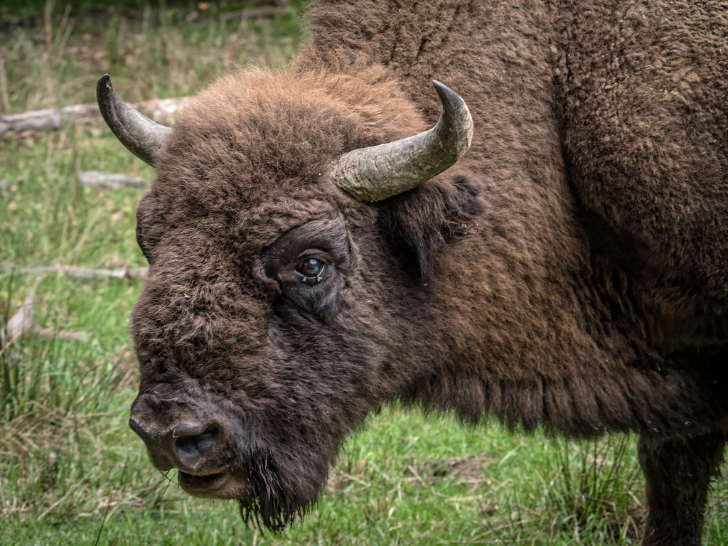 Omer, le bison d'Europe 42714822511_03aa0b300d_b
