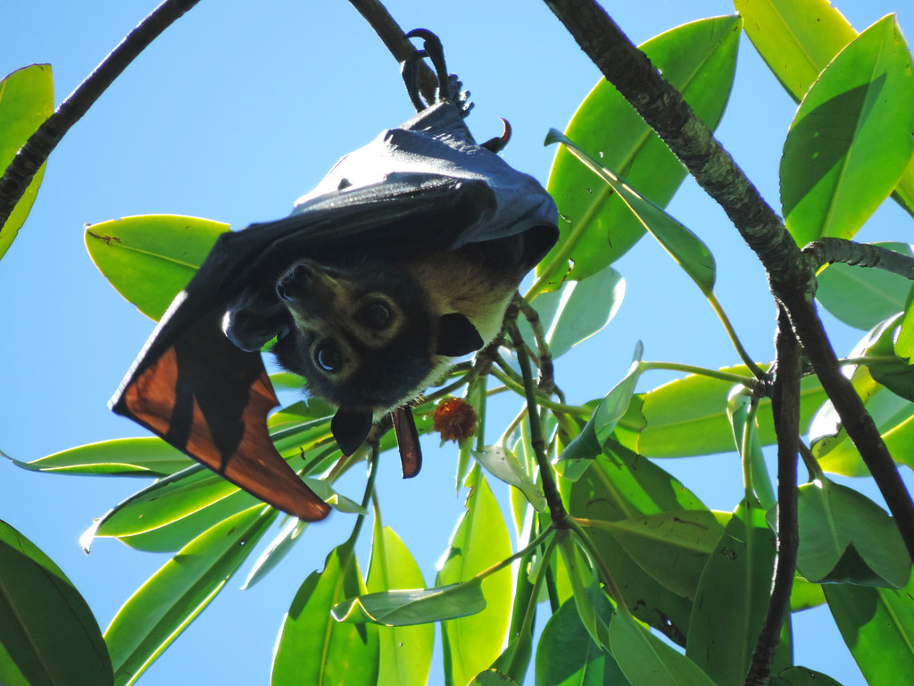 Flying fox, Daintree National Park, Queensland