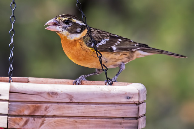 Black-headed-Grosbeak-8-7D2-050918