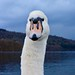 Swan. Windermere. Lake District National Park.