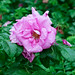 Wild rose after the rain