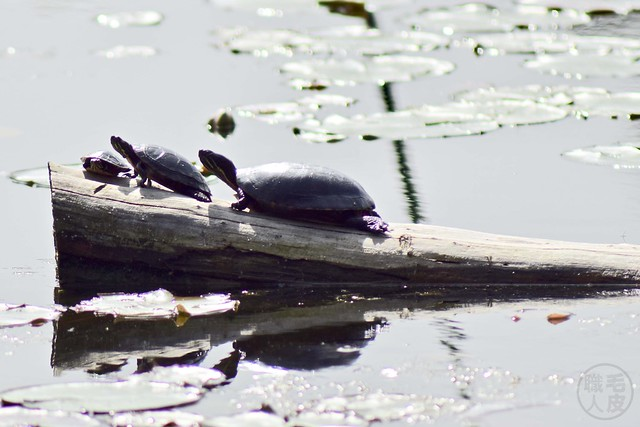 Tortues & nénuphars / Turtles & water lilies
