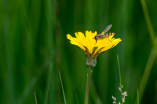 Marmelade hoverfly