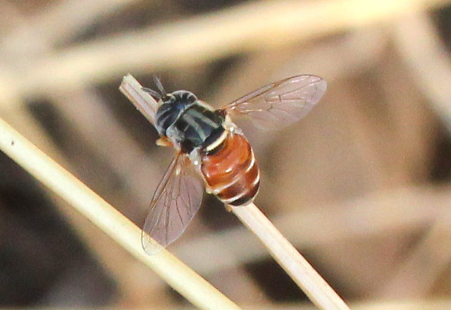 ecosystem/fauna/Syrphid Fly(Paragus sp.)
