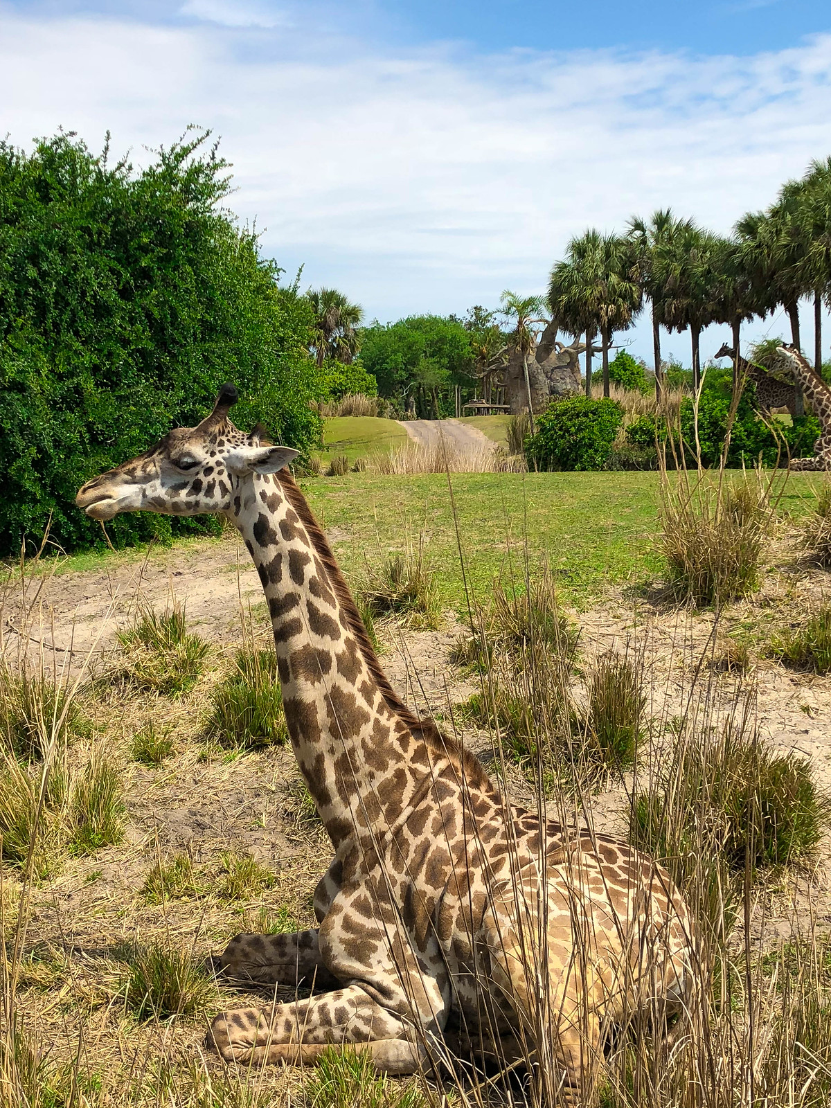 Kilimanjaro Safaris Giraffe Animal Kingdom Walt Disney World