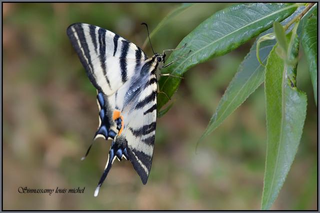 Swallowtail / Flambé, Nikon D500, AF-S DX Micro Nikkor 85mm f/3.5G ED VR
