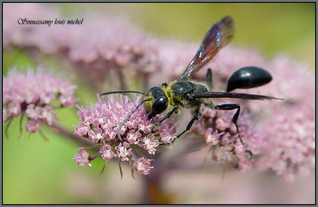 Wasp Gu pe Isodontia, Nikon D500, AF-S DX Micro Nikkor 85mm f/3.5G ED VR