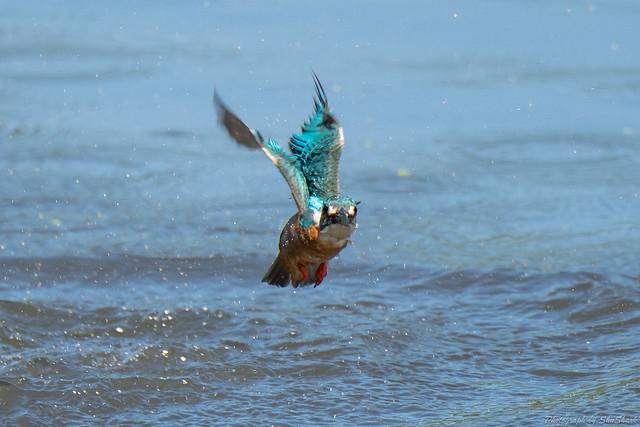 20180714-kingfisher-DSC_6250