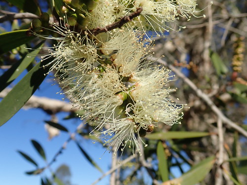 Melaleuca quinquenervia flowerhead NC 4