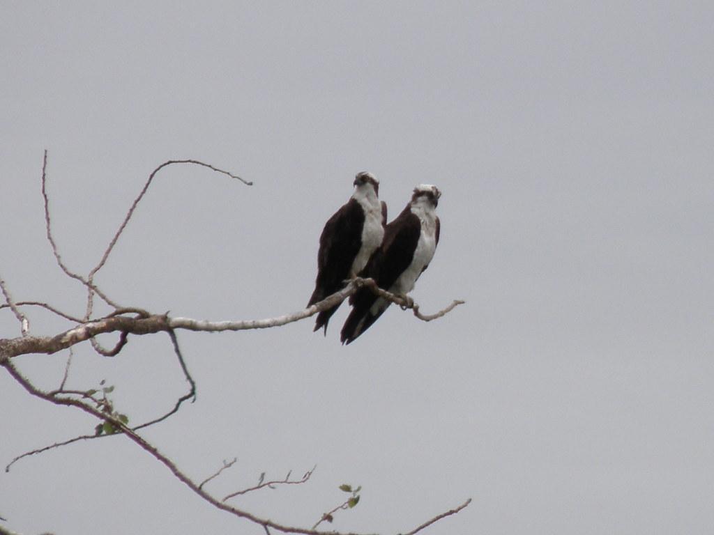 P6234417...osprey