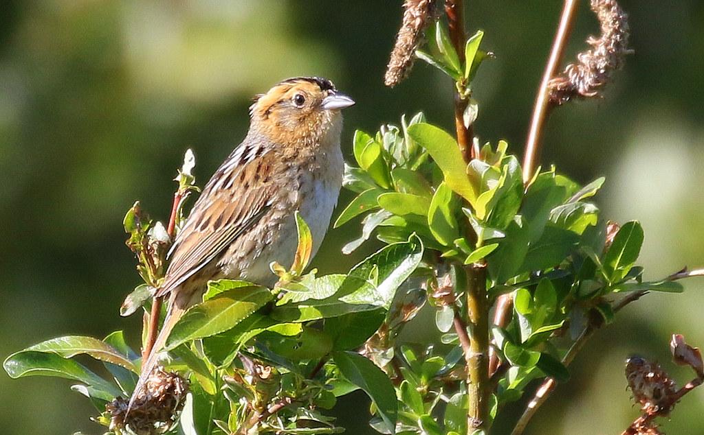 Nelson's Sparrow | Alberta, Canada | Isaac Sanchez | Flickr
