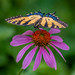 butterfly and cone flower by L33Fly