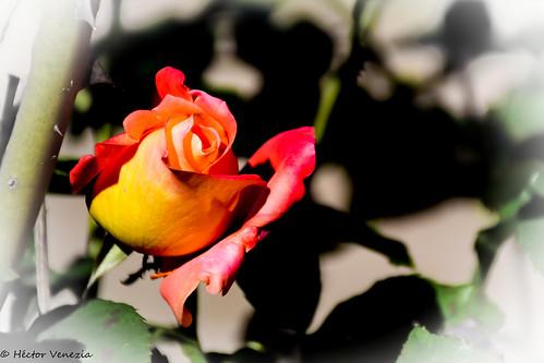 Sweet Flower 11