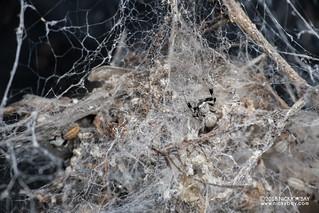 Social velvet spider (Stegodyphus sp.) - DSC_6634_wide