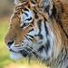 Dragan the Tiger