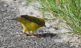 Yellow Warbler Female Collecting Down by Anna Julnes