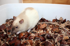 #RattieTip: A box full of chestnut peels for the ratties to forage.