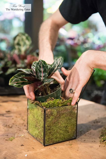 Demonstrating how to transport the calathea