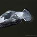 Pigeon Take Off_6280088