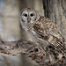 Barred Owl by Jim Buescher Photography