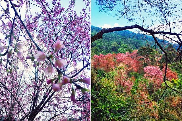 Cherry Blossom - Doi Pui - Chiang Mai - Thailand