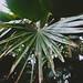Pritchardia Pacifica