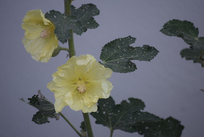Hollyhocks 20.06 (2)